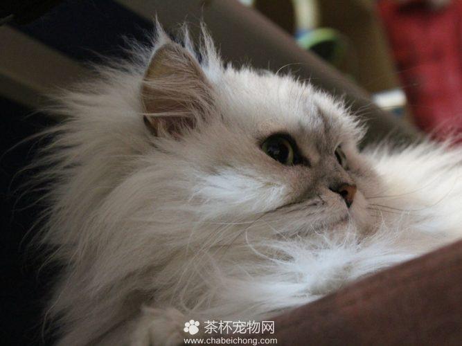 金吉拉猫(五)