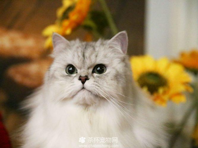 金吉拉猫(六)