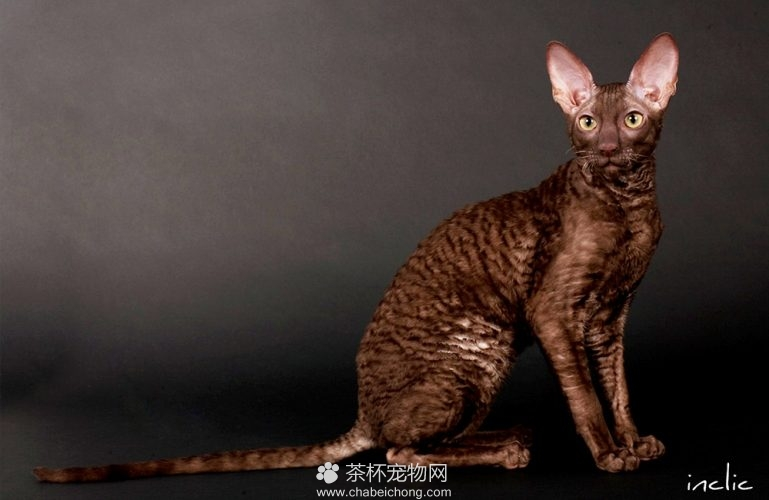 柯尼斯卷毛猫图片