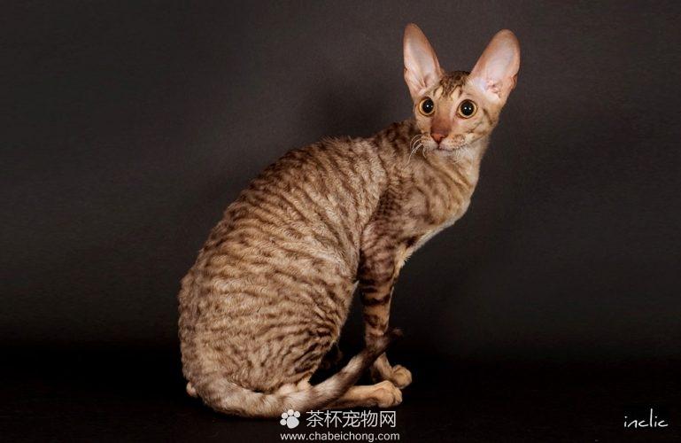 柯尼斯卷毛猫图片(二)
