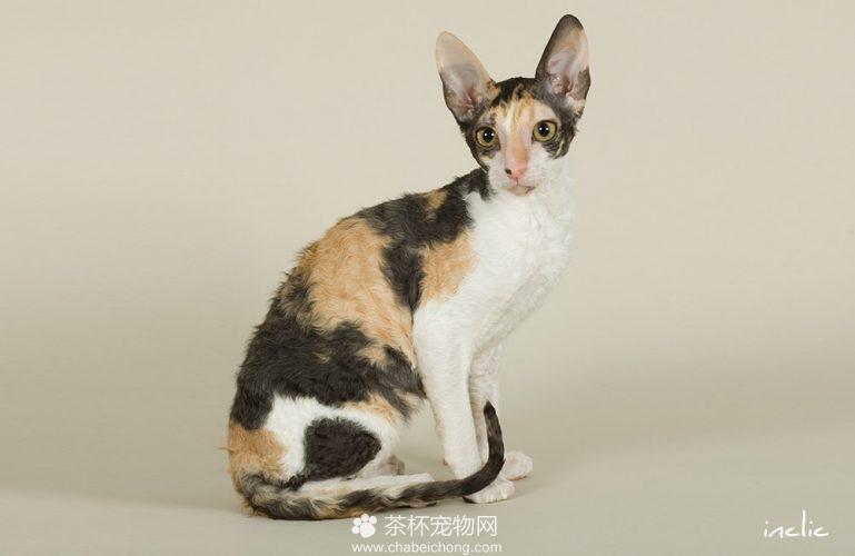 柯尼斯卷毛猫图片(三)