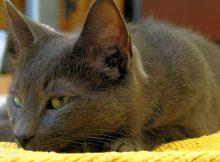 科拉特猫图片