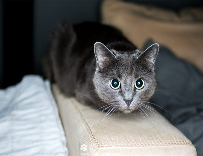 科拉特猫图片(二)