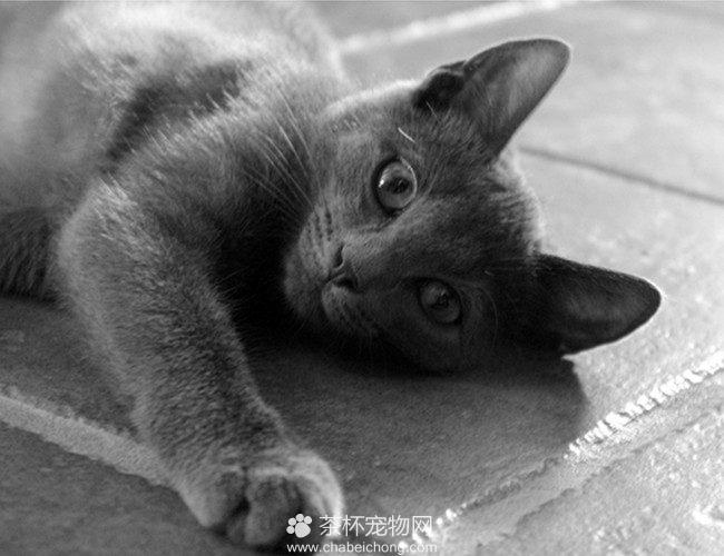 科拉特猫图片(三)