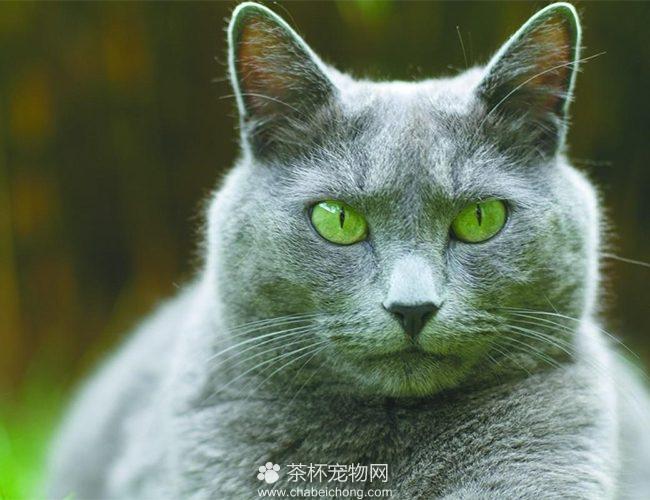 科拉特猫图片(四)