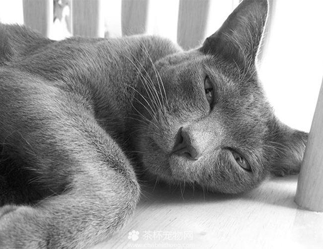 科拉特猫图片(五)