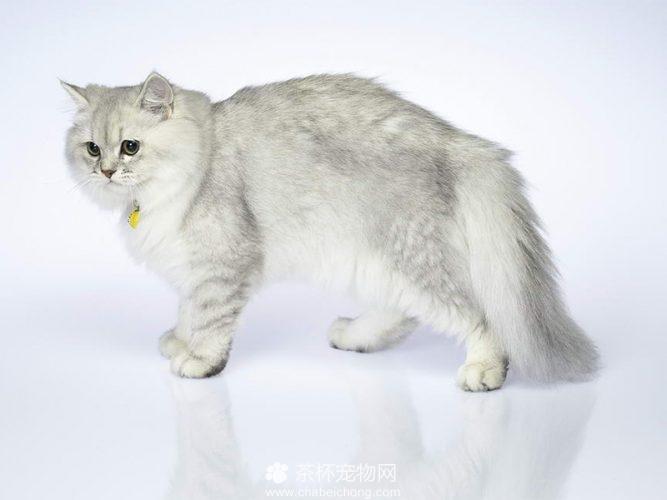 褴褛猫图片