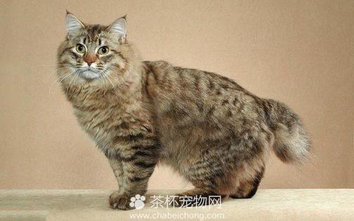 美国短尾猫图片(二)