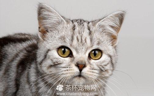 美国短毛猫图片(二)