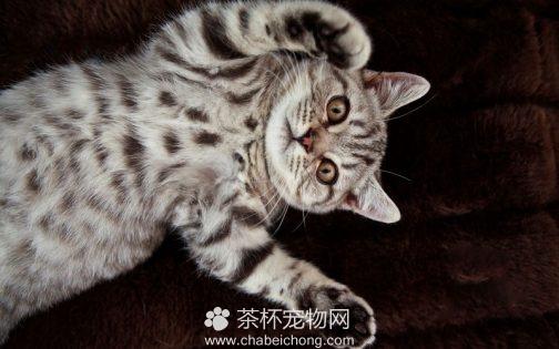 美国短毛猫图片(三)