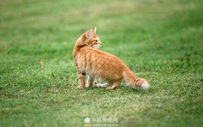 美国硬毛猫图片(三)