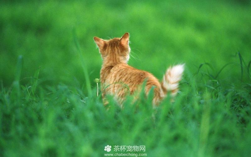 美国硬毛猫图片(四)