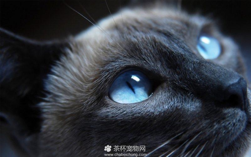 孟买黑猫图片