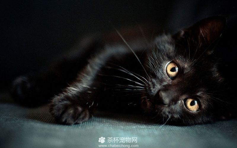 孟买黑猫图片大全