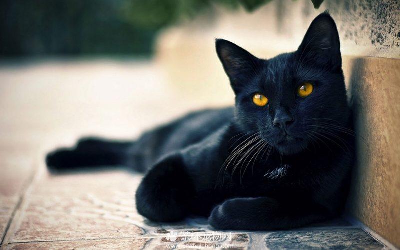 孟买黑猫图片(四)
