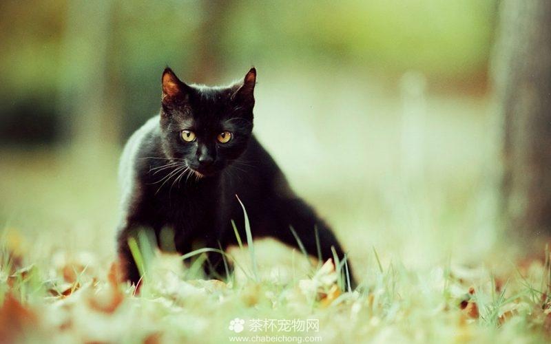 孟买黑猫图片(六)