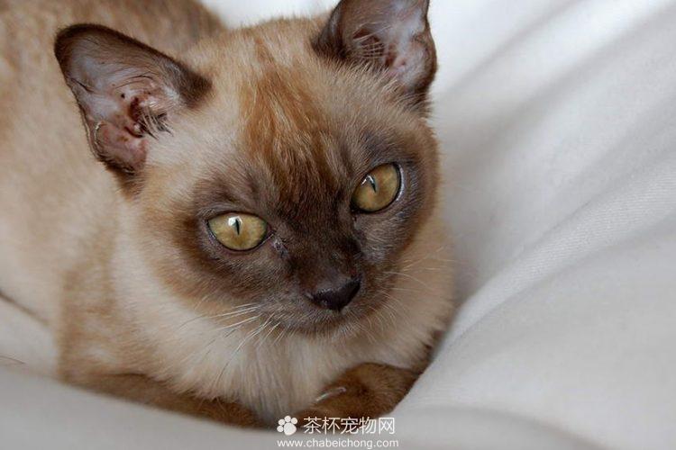 缅甸猫图片(二)