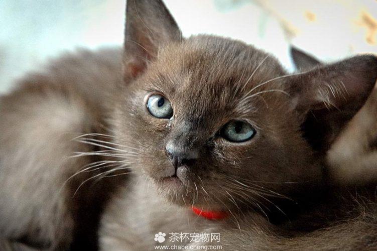 缅甸猫图片(三)