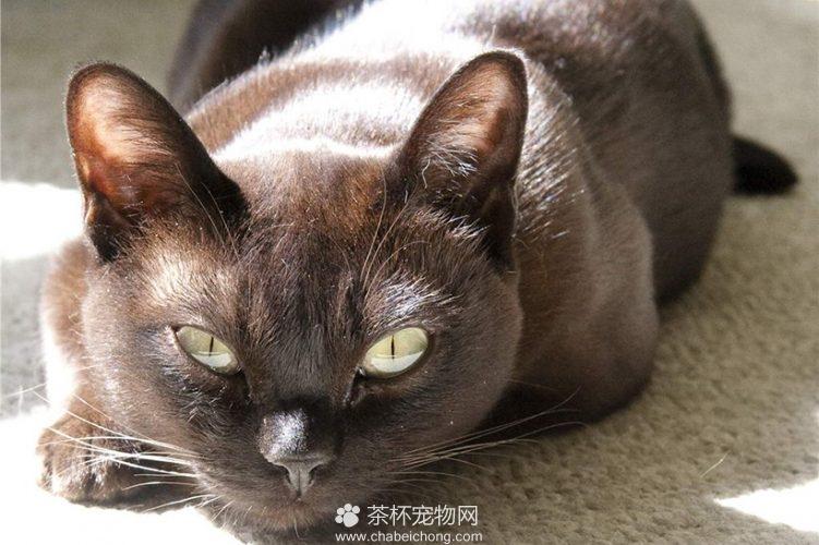 缅甸猫图片(四)