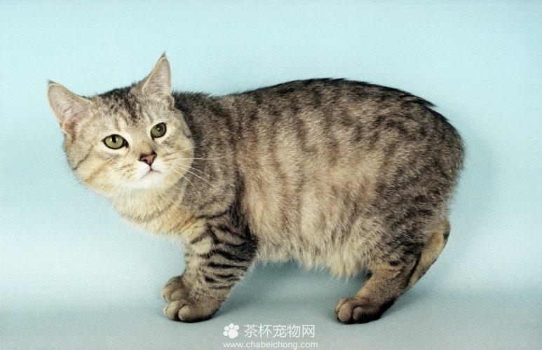 曼岛无尾猫