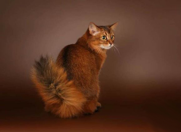 索马里猫图片