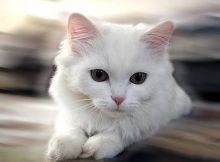 安哥拉猫图片