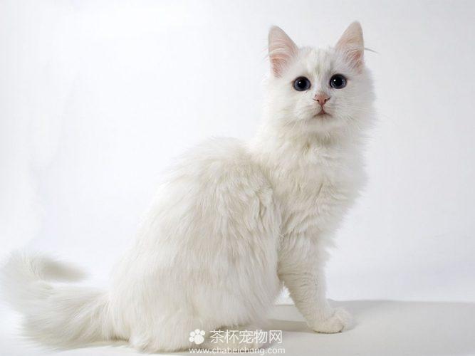 安哥拉猫图片(二)