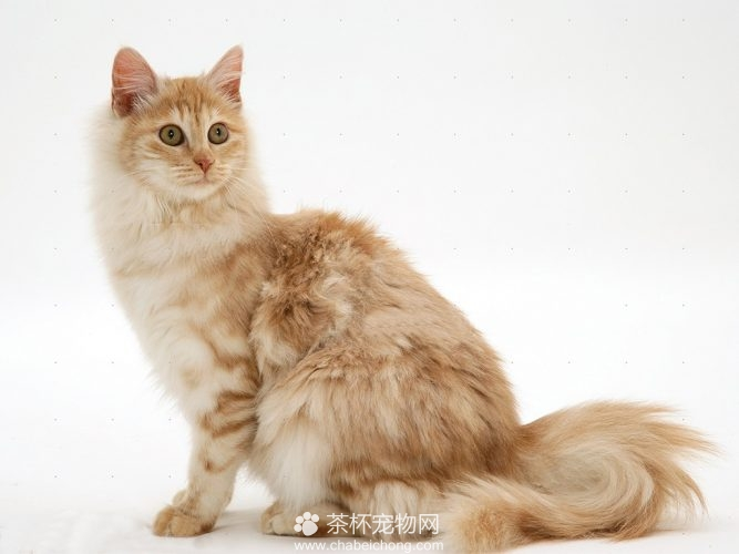 安哥拉猫图片(三)