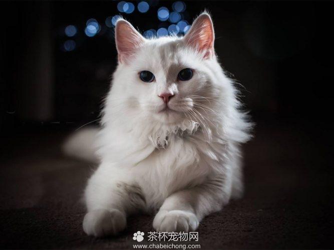 安哥拉猫图片(四)
