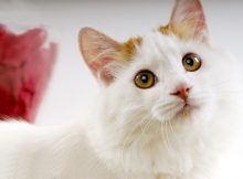 土耳其梵猫图片