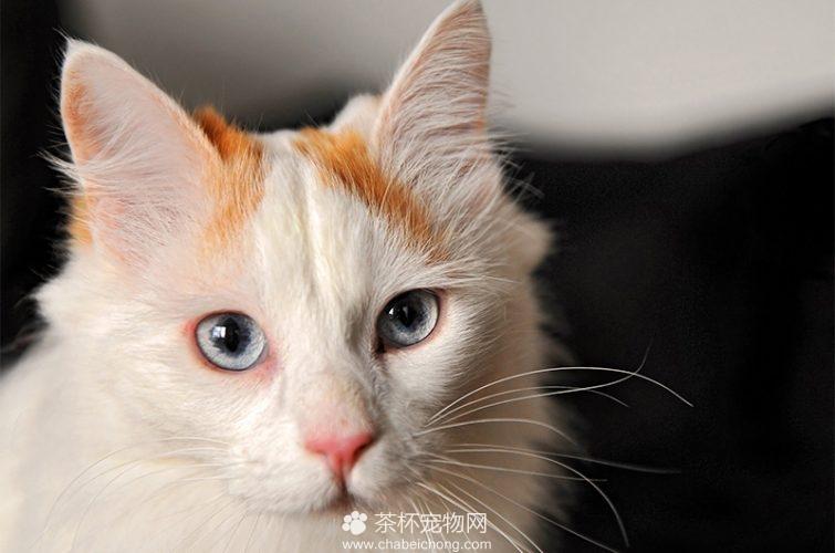 土耳其梵猫图片(二)