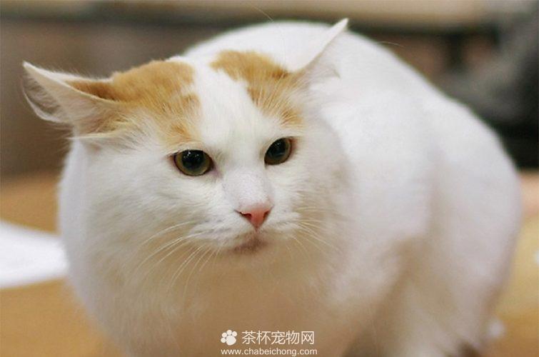 土耳其梵猫图片(四)