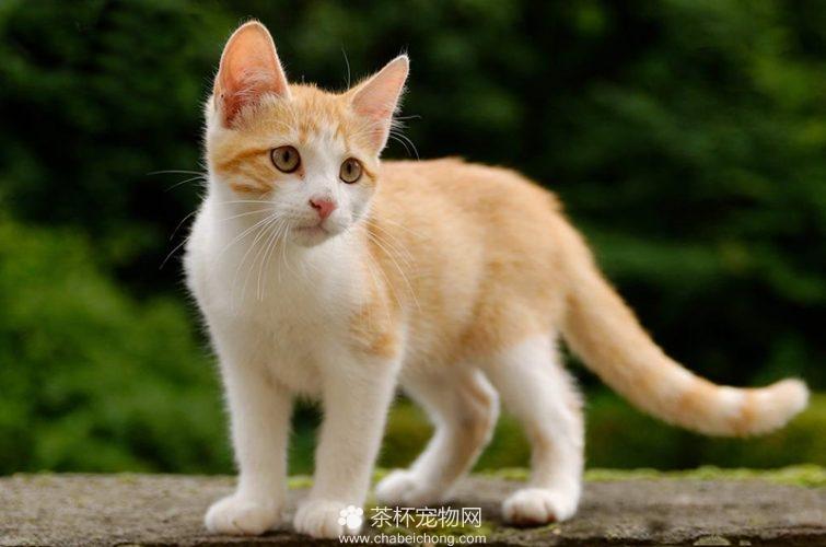 土耳其梵猫图片(五)
