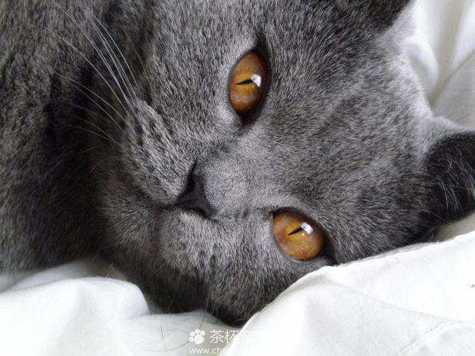 夏特尔猫图片