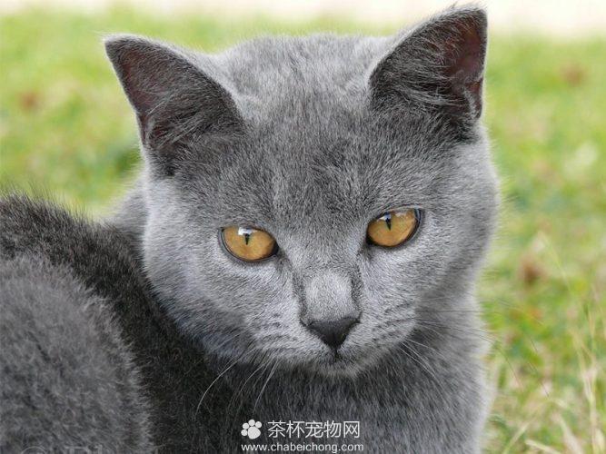 夏特尔猫图片(二)