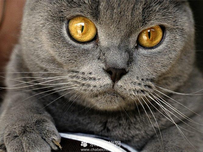 夏特尔猫图片(三)