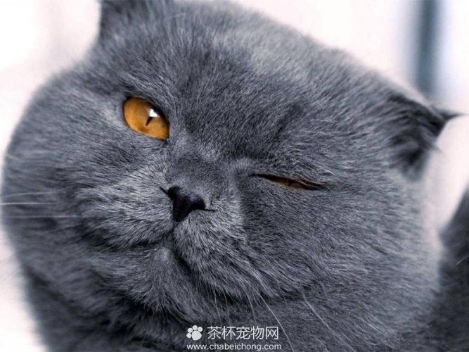 夏特尔猫图片(四)