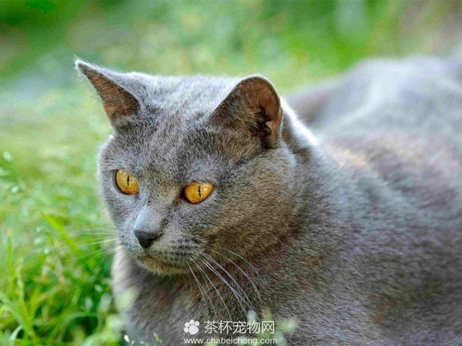 夏特尔猫图片(五)