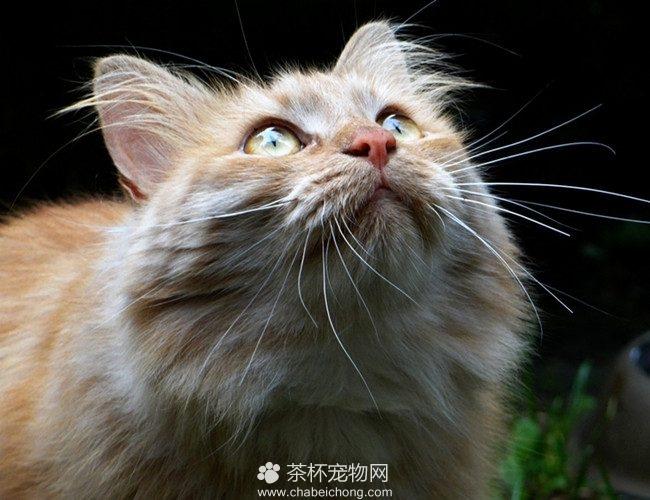 西伯利亚猫(二)