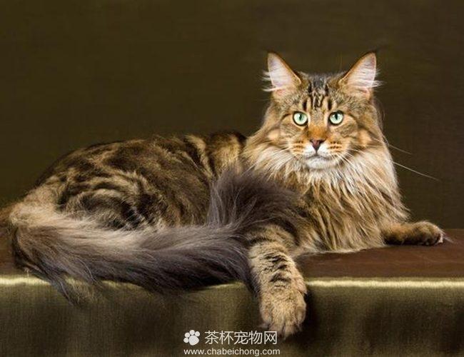 西伯利亚猫(三)