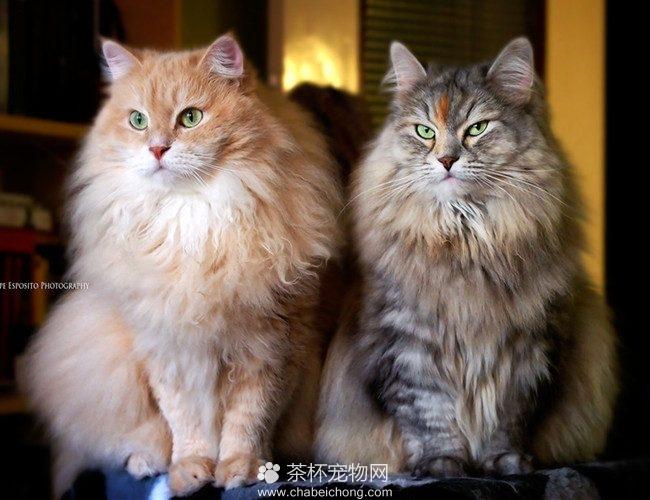 西伯利亚猫(四)