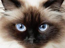 喜马拉雅猫图片