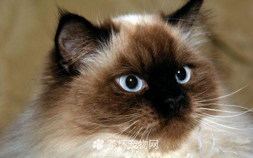 喜马拉雅猫图片(二)