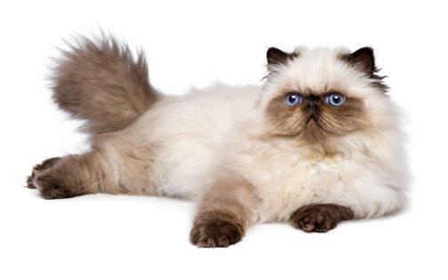 喜马拉雅猫图片(三)