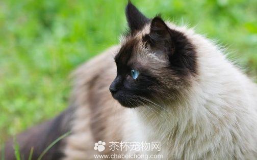 喜马拉雅猫图片(四)