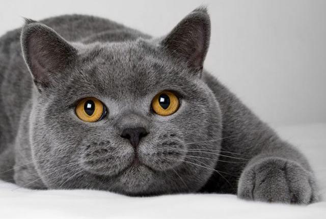 英国短毛猫是一种非常有历史格调的猫咪,据说早在2000多年前的古罗马帝国时期,它们就曾跟随凯撒大帝到处征战。在战争中,它们靠着超强的捕鼠能力,保护罗马大军的粮草不被老鼠偷吃,充分保障了军需后方的稳定。从此,这些猫在人们心中得到了很高的地位。就在那个时候,它们被带到了英国境内,靠着极强的适应能力,逐渐演变成为英国的土著猫。它不仅被公认为捕鼠高手,那英俊外形也被更多人所喜爱。