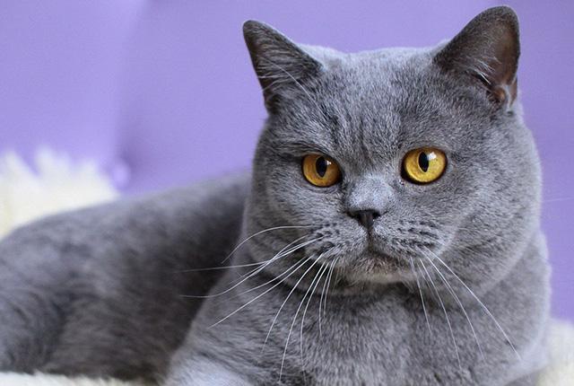 英国短毛猫图片(二)