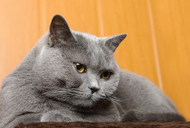 英国短毛猫图片(三)