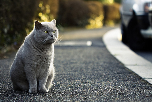 英国短毛猫图片(四)