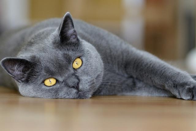 英国短毛猫图片(五)